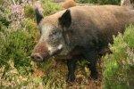 wild_boar_sow_in_heather
